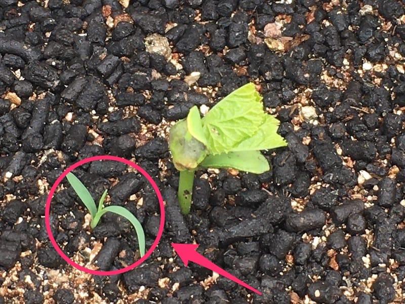 家庭菜園_11